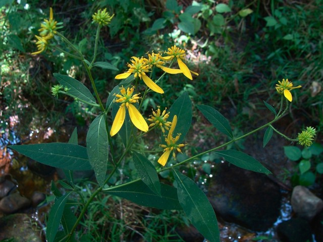 Yellow wingstem - Verbesina alternifolia