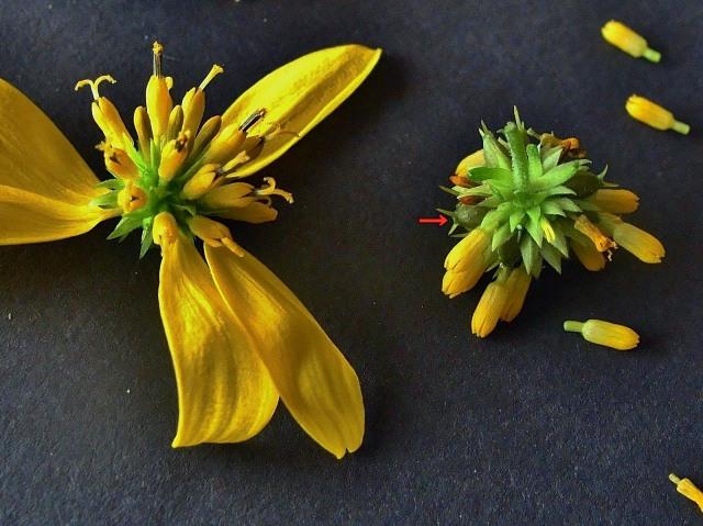 Yellow wingstem - Verbesina alternifolia