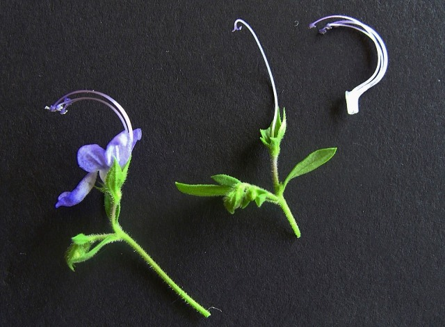 Forked Blue Curls - Trichostema dichotomum
