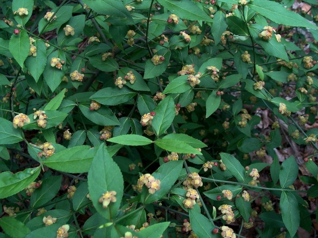 Strawberry bush - Euonymus americanus