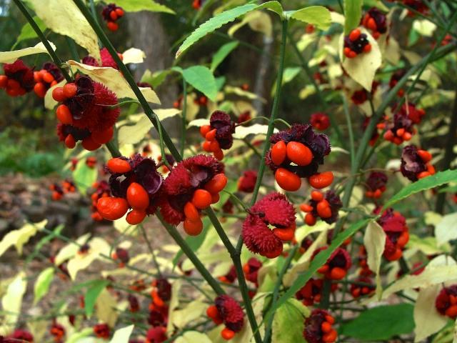 Strawberry bush - Euonymus americanus