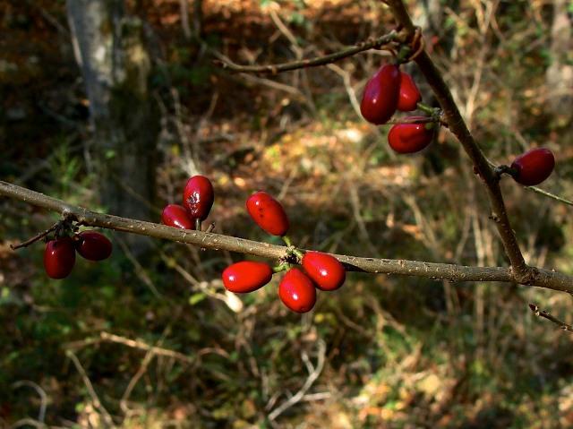 Spicebush - Lindera benzoin