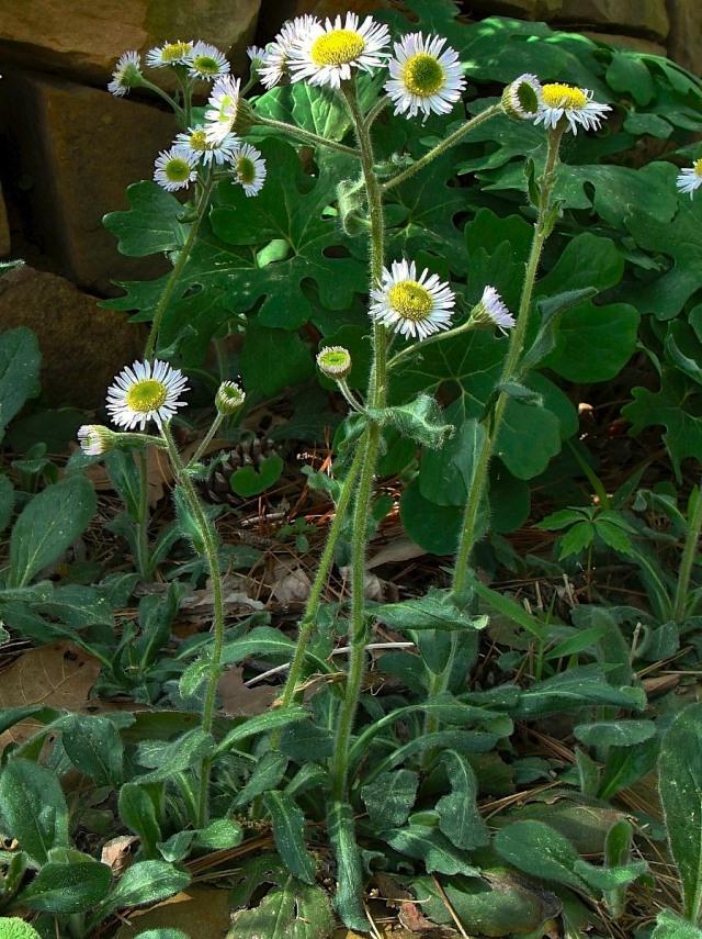 Robin's Plantain - Erigeron pulchellus var. pulchellus