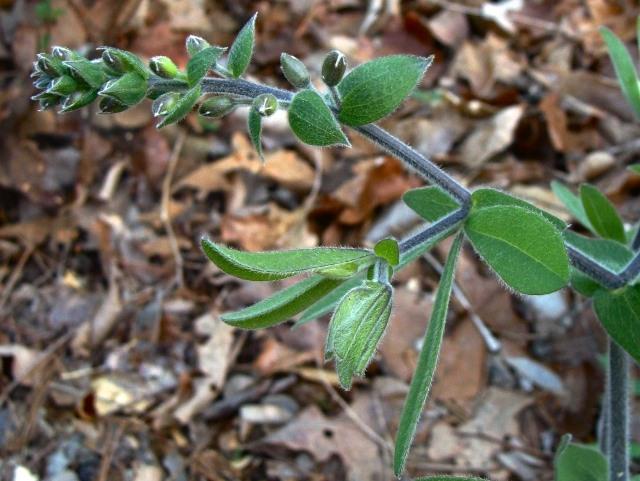 Cream Wild Indigo - Baptisia bracteata