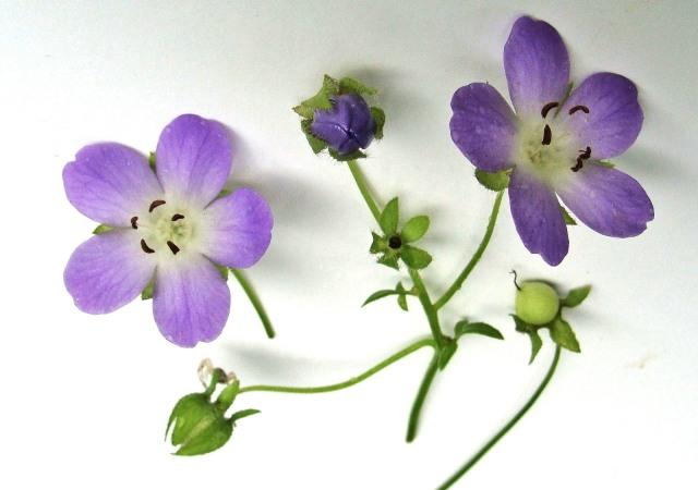Large-flower baby blue eyes - Nemophila phacelioides