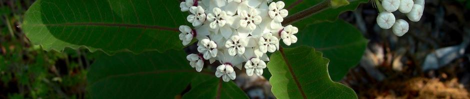 Red Wing Milkweed - Asclepias variegata