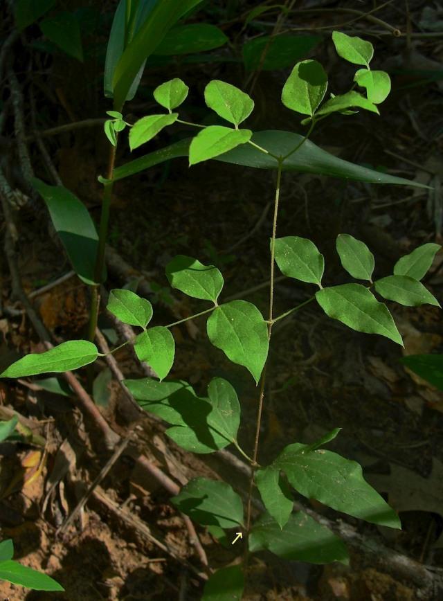 Netleaf leatherflower - Clematis reticulata