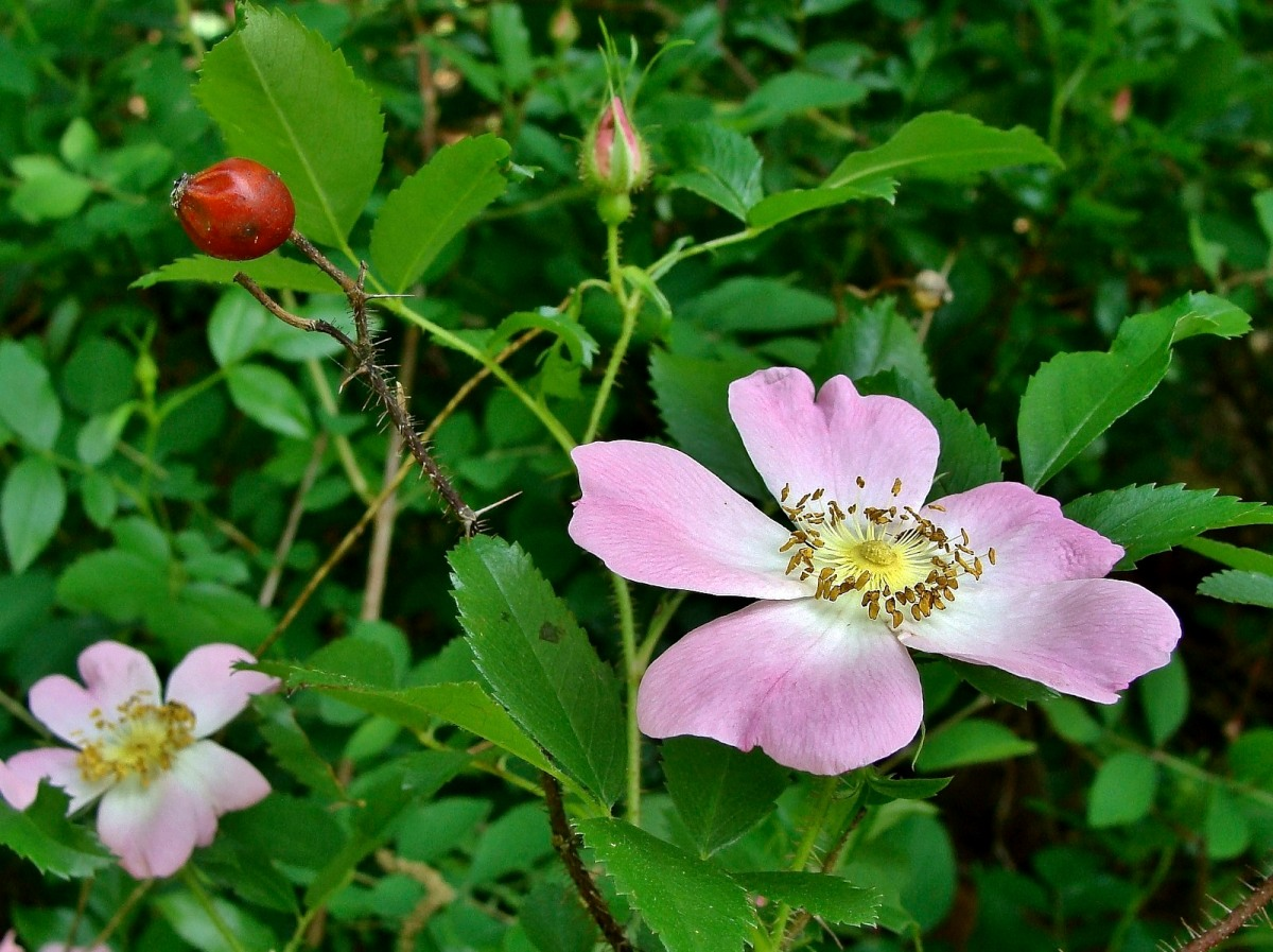 Know Your Natives Carolina Rose Arkansas Native Plant