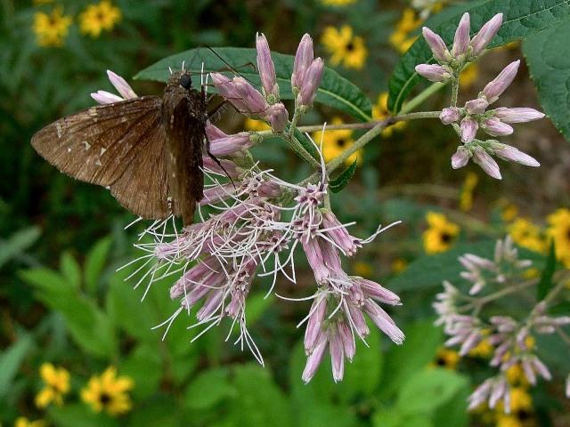 Joe Pye Weed - Eutrochium purpureum