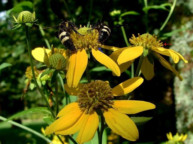 Cutleaf coneflower - Rudbeckia laciniata var. lanciniata
