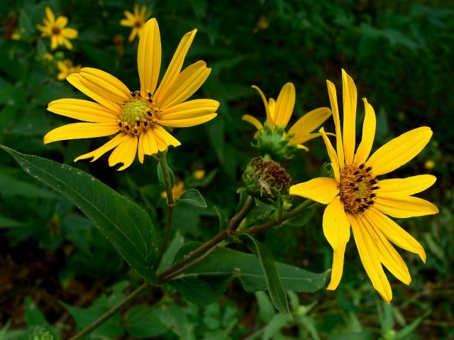 Woodland sunflower - Helianthus strumosus