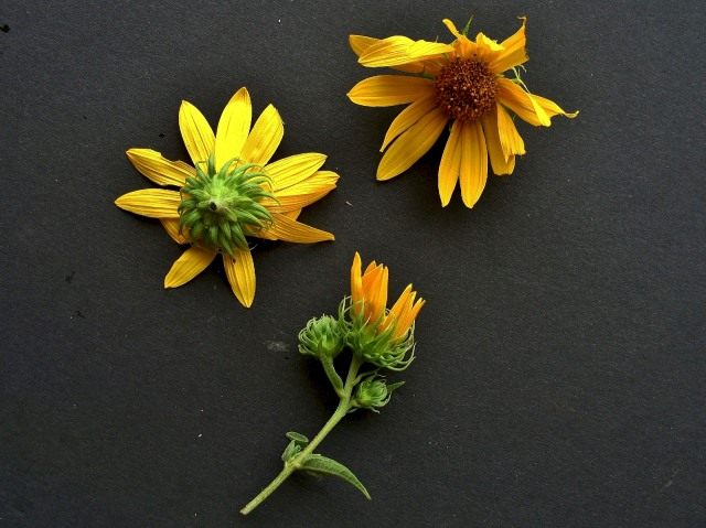 Woodland sunflower - Helianthus divaricatus