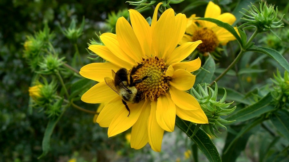 Woodland sunflower - Helianthus divaricatus