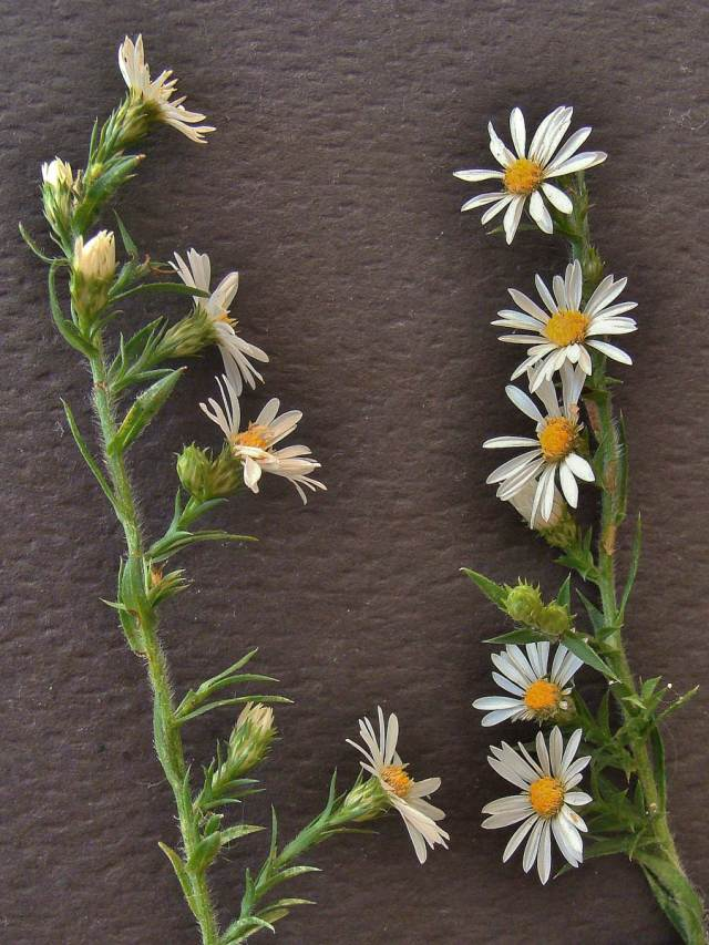 White oldfield aster - Symphyotrichum pilosum