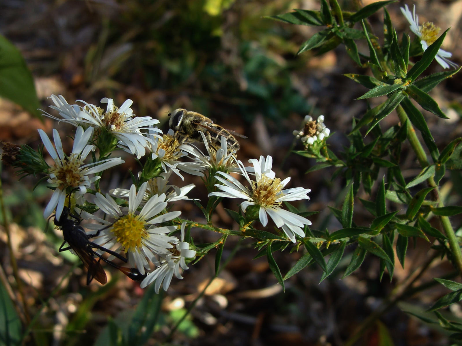 Know Your Natives White Oldfield Aster Arkansas Native Plant Society