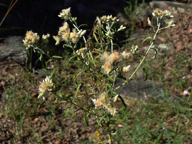 Sweet everlasting - Pseudognaphalium obtusifolium