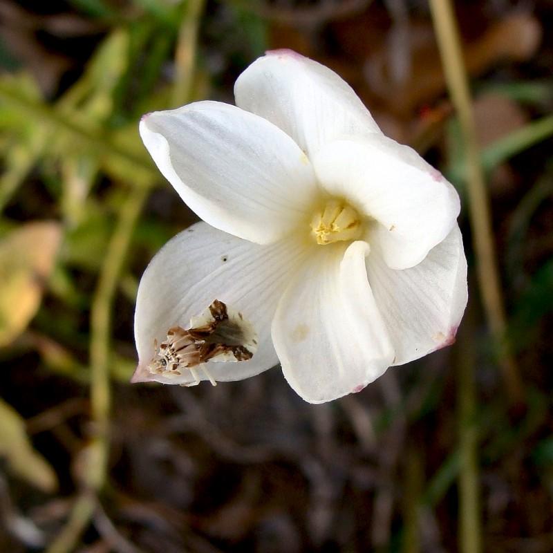 Evening Rain Lily - Cooperia drummondii