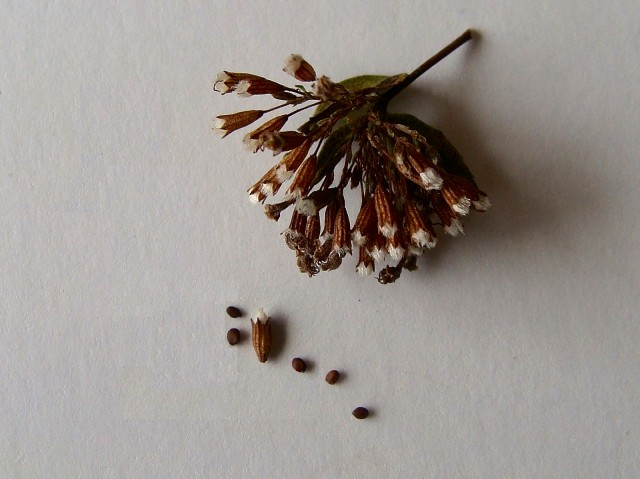Dittany - Cunila origanoides
