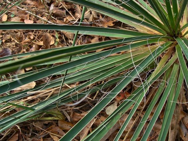 Arkansas Yucca - Yucca arkansana