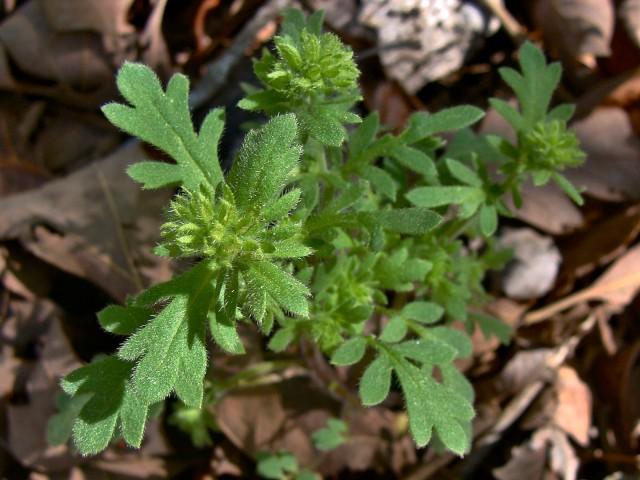 Hairy Phacelia - Phacelia hirsuta