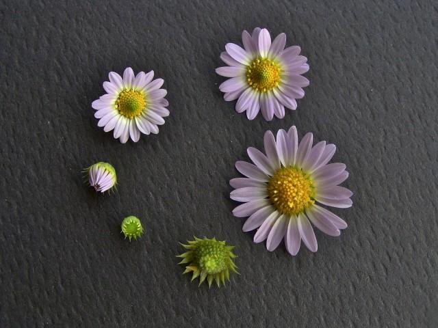 Western Daisy - Astranthum ciliatum