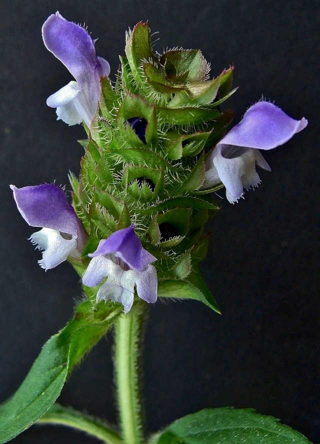 Self Heal - Prunella vulgaris