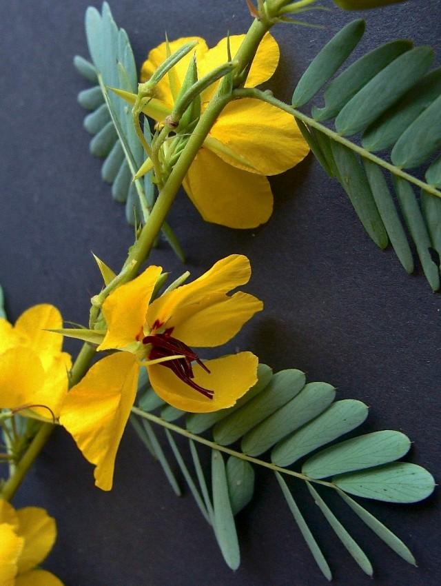 Showy Partridge Pea - Chamaecrista fasciculata var. fasciculata