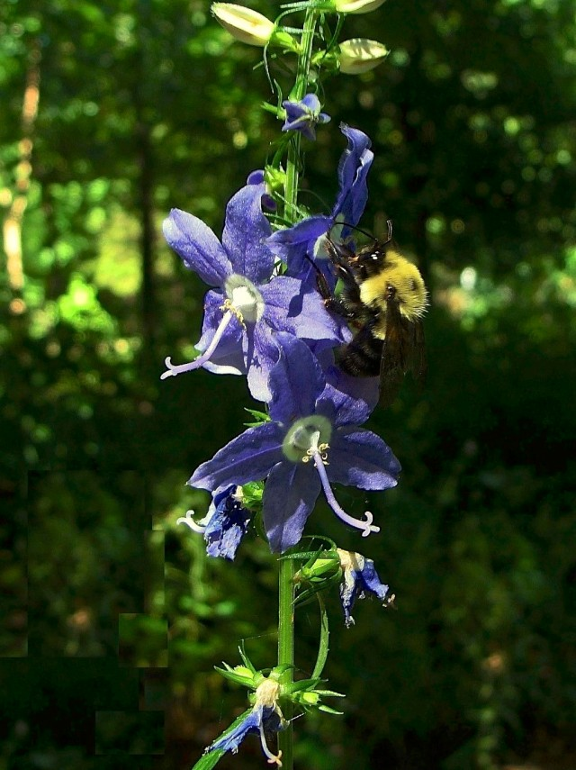 Tall bellflower - Campanula americana