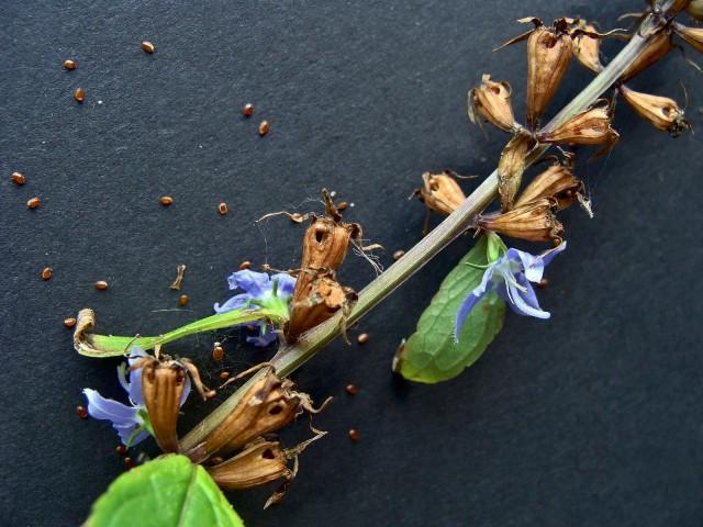 Tall bellflower - Campanula americana
