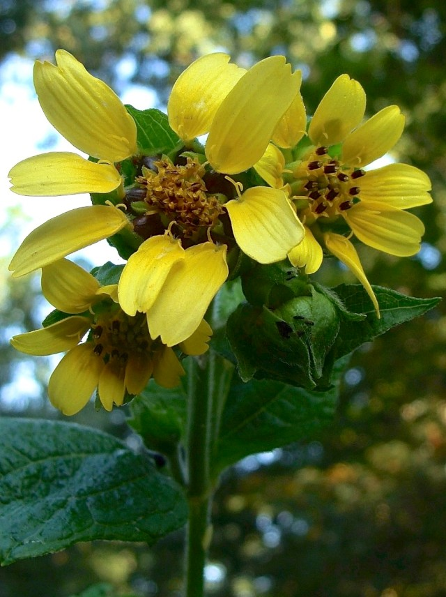 Yellow leafcup - Smallanthus uvedalius