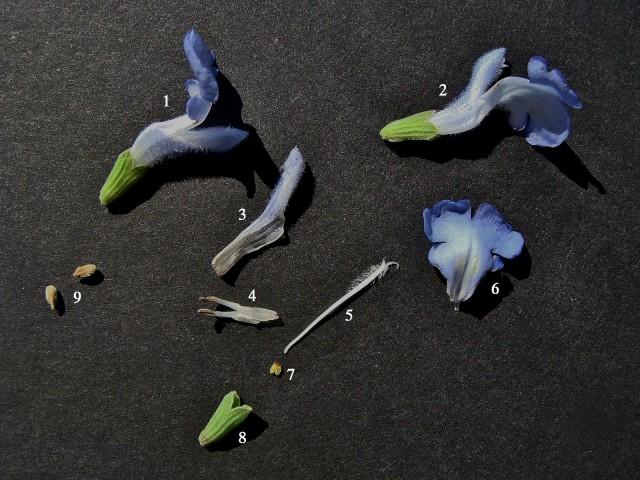 Blue sage - Salvia azurea