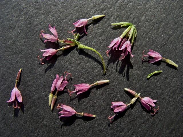 Palafoxia - Palafoxia callosa