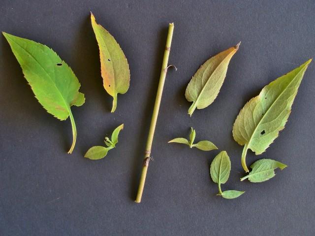 Drummond's Aster - Symphyotrichum drummondii