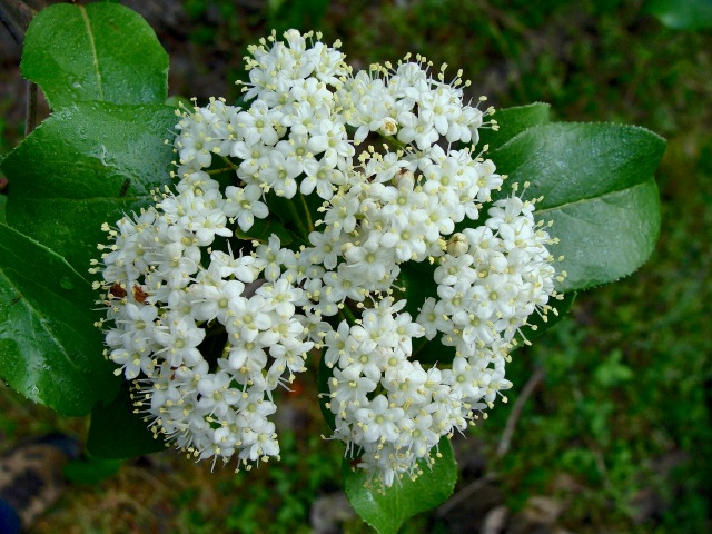 Rusty blackhaw - Viburnum rufidulum