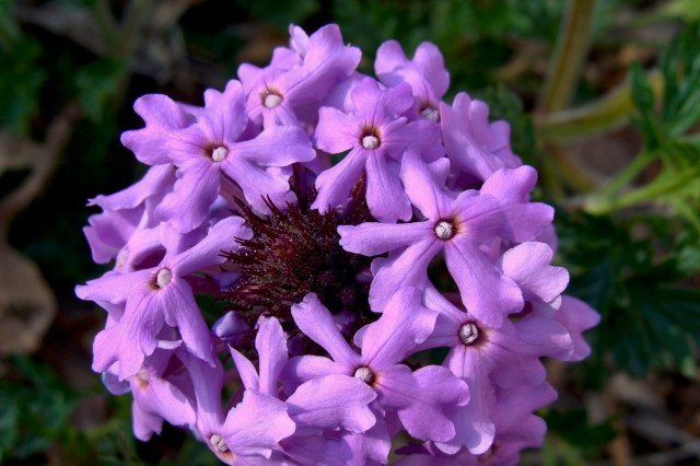 Rose Vervain - Glandularia canadensis