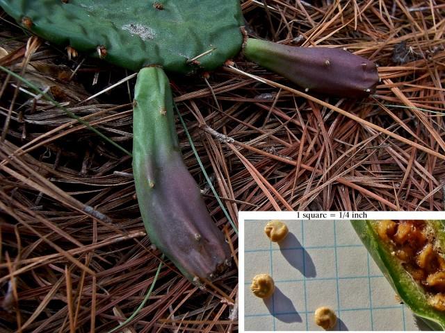 Prickly Pear - Opuntia humifusa