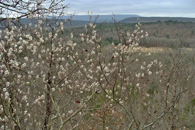Serviceberry - Amelanchier arborea