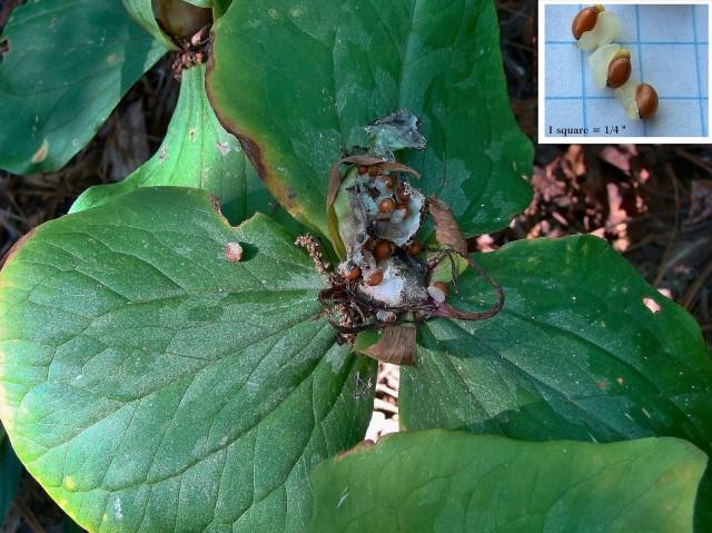 Green Trillium - Trillium viridescens