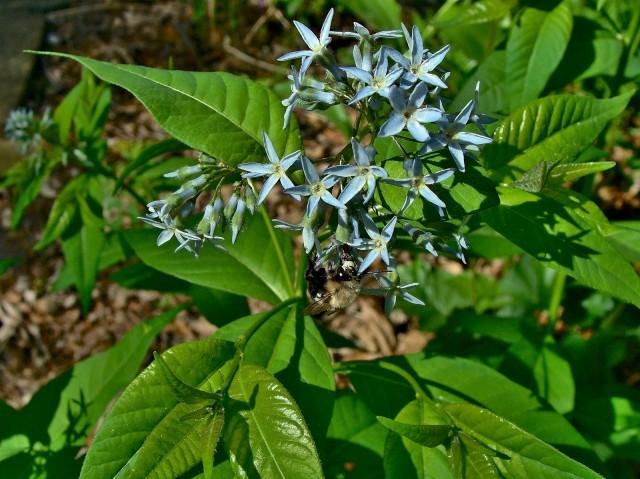 Eastern bluestar - Amsonia tabernaemontana