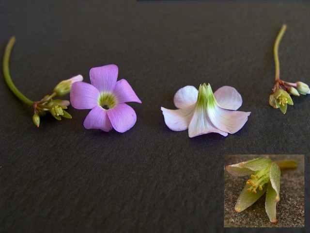 Know Your Natives - Oxalis violacea