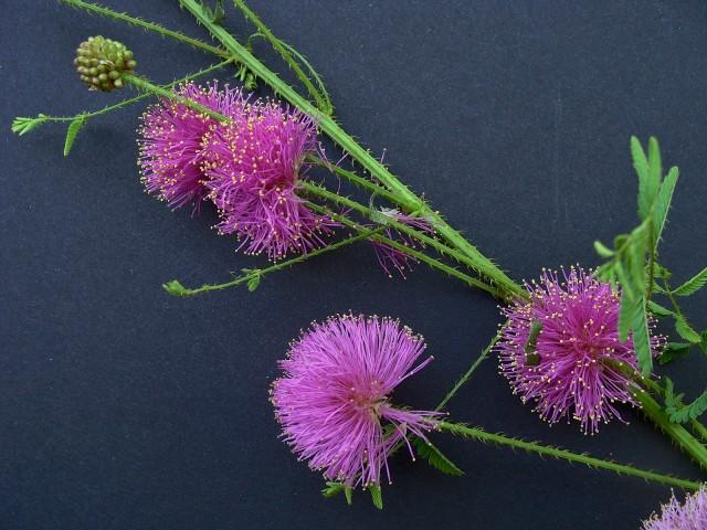 Sensitive Briar - Mimosa quadrivalvis var. nuttallii
