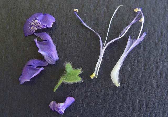 Heartleaf Skullcap - Scutellaria ovata