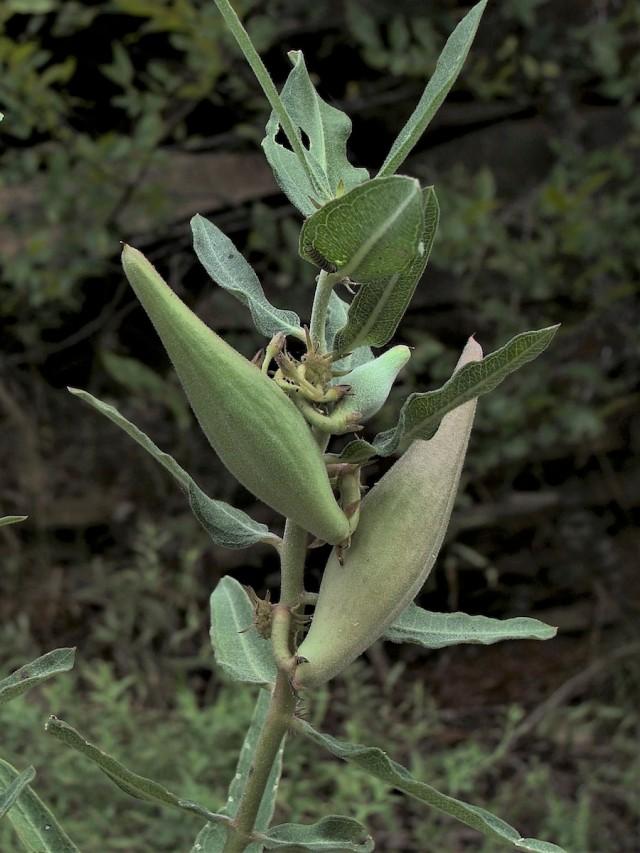 Green milkweed - Asclepias viridiflora