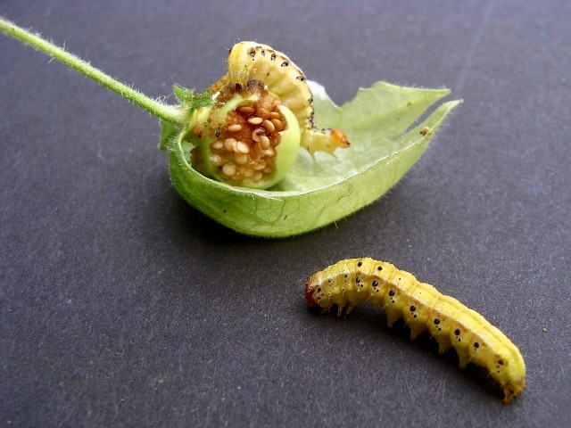 Clammy groundcherry - Physalis heterophylla
