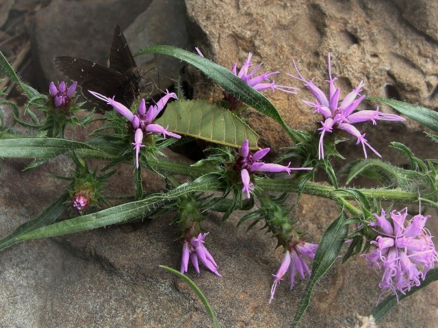 Hairy Blazing Star - Liatris hirsuta