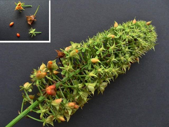 Fly Poison - Amianthium muscitoxicum