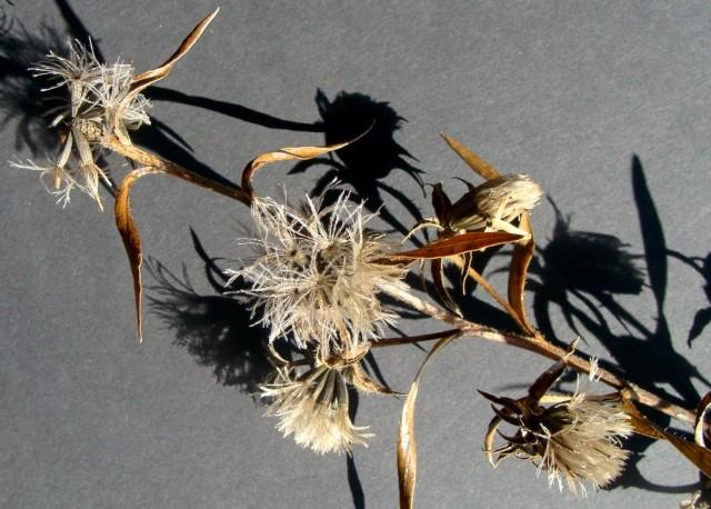 Hairy Blazing Star - Liatris hirsuta