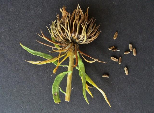 Gum Plant - Grindelia lanceolata