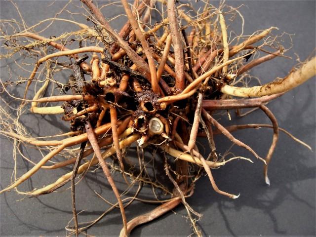 Wood nettle - Laportea canadensis