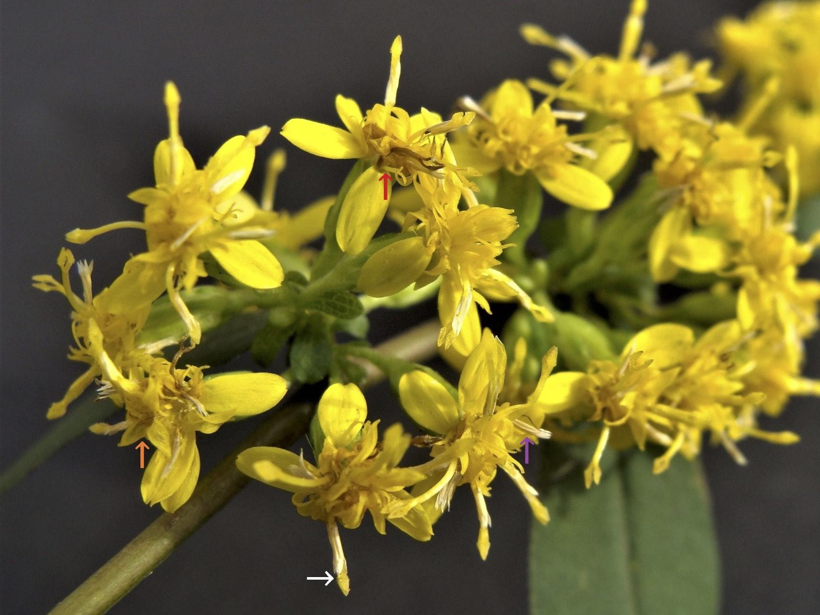 Wreath goldenrod - Solidago caesia
